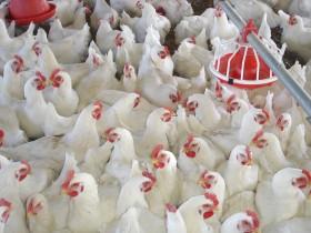 Un logro histórico: por cada dos kilos de carne de pollo se exporta apenas uno de carne bovina