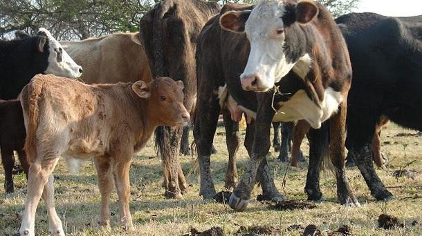 manejo del rodeo ganaderia