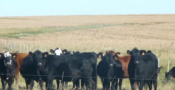manejo del ganado bovino