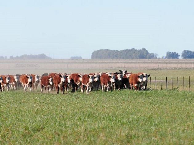 Esperanzados, los ganaderos retienen hasta los machos