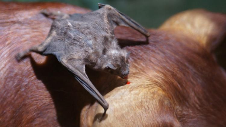 Rabia en bovinos: detectan un foco en San Marcos Sierra